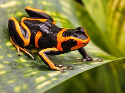 https://imgc.artprintimages.com/img/print/red-striped-poison-dart-frog_u-l-q1035wn0.jpg?p=0