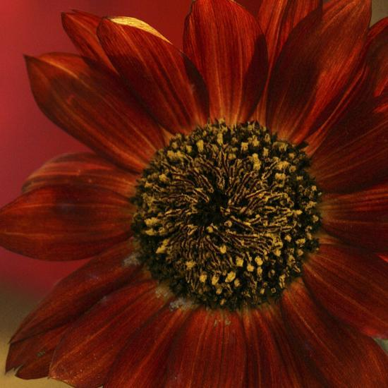 Red Sunflower Close-up-Anna Miller-Photographic Print