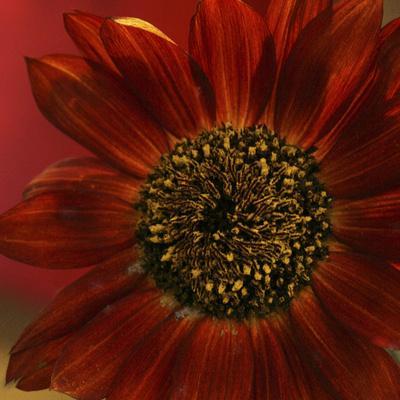 https://imgc.artprintimages.com/img/print/red-sunflower-close-up_u-l-pyorqm0.jpg?p=0