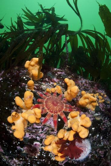 Red Sunstar (Crossaster Papposus) Amongst Dead Man's Fingers (Alcyonium Sp) Shetland Islands, UK-Alex Mustard-Photographic Print