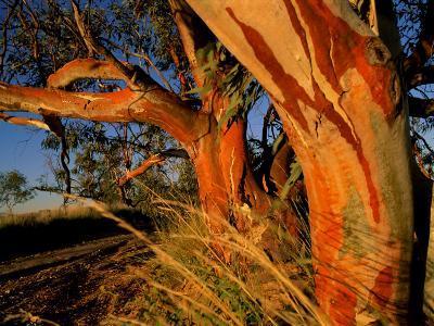 Red Swamp Banksia--Photographic Print