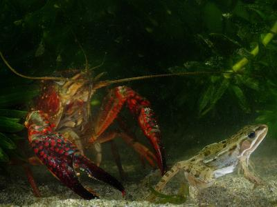 Red Swamp Crayfish (Procambarus Clarckii) Can Prey on Even Adult Amphibians-Fabio Pupin-Photographic Print