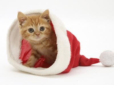Red Tabby Kitten in a Father Christmas Hat-Jane Burton-Photographic Print