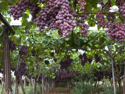 Red table grapes on vine in Basilicata-Mark Bolton-Photographic Print