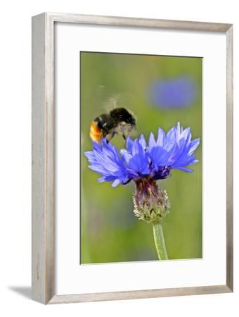 Red-Tailed Bumblebee and Cornflower