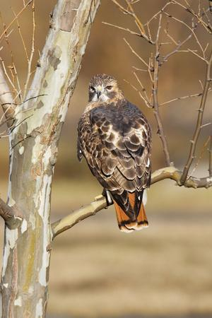 Red-Tailed Hawk Adult--Photographic Print