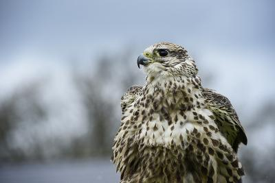 Red Tailed Hawk, an American Raptor, Bird of Prey, United Kingdom, Europe-Janette Hill-Photographic Print