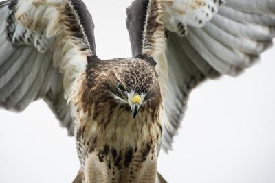 https://imgc.artprintimages.com/img/print/red-tailed-hawk-buteo-jamaicensis-bird-of-prey-england-united-kingdom_u-l-pwfsrf0.jpg?artPerspective=n