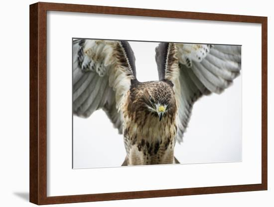 Red-Tailed Hawk (Buteo Jamaicensis), Bird of Prey, England, United Kingdom-Janette Hill-Framed Photographic Print