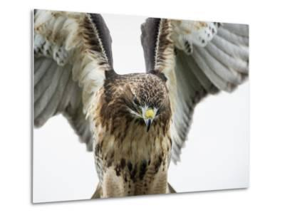 Red-Tailed Hawk (Buteo Jamaicensis), Bird of Prey, England, United Kingdom-Janette Hill-Metal Print