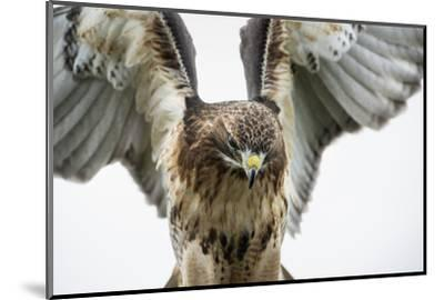 Red-Tailed Hawk (Buteo Jamaicensis), Bird of Prey, England, United Kingdom-Janette Hill-Mounted Photographic Print