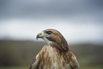 Red-Tailed Hawk (Buteo Jamaicensis), Bird of Prey, Herefordshire, England, United Kingdom-Janette Hill-Photographic Print
