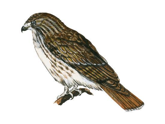 Red-Tailed Hawk (Buteo Jamaicensis), Birds-Encyclopaedia Britannica-Art Print