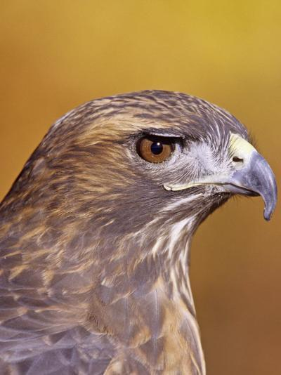 Red-Tailed Hawk, Buteo Jamaicensis, Head Showing its Eye and Bill, North America-Jack Michanowski-Photographic Print