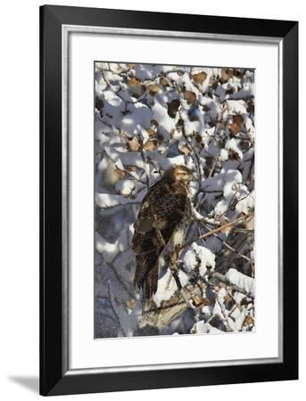 Red-Tailed Hawk (Buteo Jamaicensis) Juvenile in a Snow-Covered Tree-James Hager-Framed Photographic Print