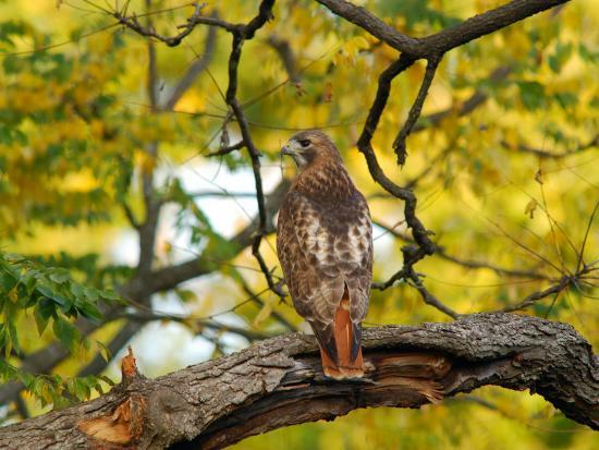 Red-Tailed Hawk, Buteo Jamaicensis, Perched on a Tree Branch-Darlyne A^ Murawski-Photographic Print