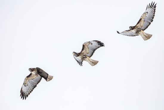 Red tailed hawk in flight sequence at Ninepipe WMA, Ronan, Montana, USA.-Chuck Haney-Premium Photographic Print