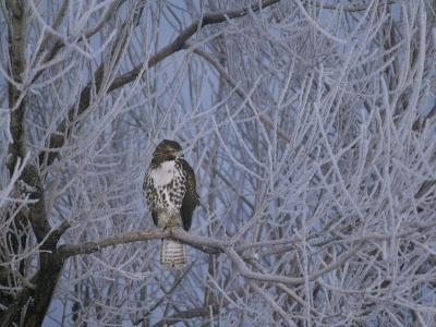 Red-Tailed Hawk in Frosted Tree, Buteo Jamaicensis, Klamath Basin Nat Wildlife Refuge, California-Frans Lanting-Photographic Print