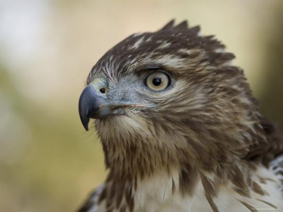 Red-Tailed Hawk in Lincoln, Nebraska-Joel Sartore-Photographic Print
