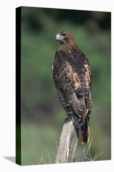 Red-Tailed Hawk Perches on Post-W^ Perry Conway-Stretched Canvas Print