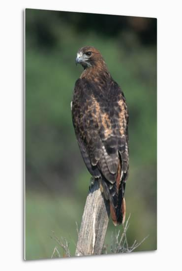 Red-Tailed Hawk Perches on Post-W^ Perry Conway-Metal Print
