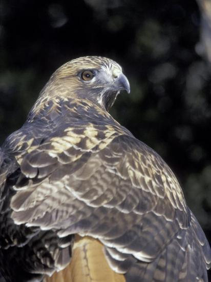 Red-Tailed Hawk Showing Tail Colors, Wildlife West Nature Park, New Mexico, USA-Maresa Pryor-Photographic Print