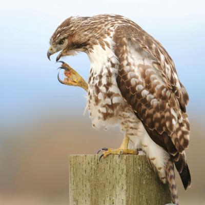 Red-Tailed Hawk-Rebecca Richardson-Photographic Print