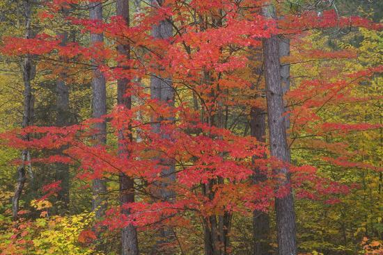 Red Tree and Fall Color Schoolcraft County, Upper Peninsula, Michigan-Richard and Susan Day-Photographic Print