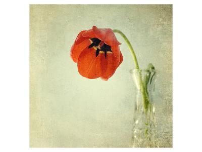 Red Tulip I-Judy Stalus-Art Print