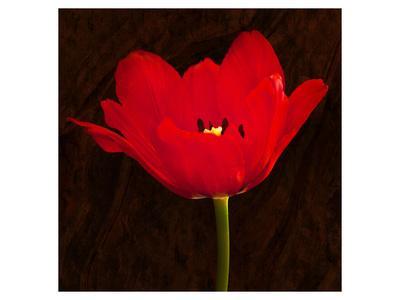 Red Tulip II-Christine Zalewski-Art Print