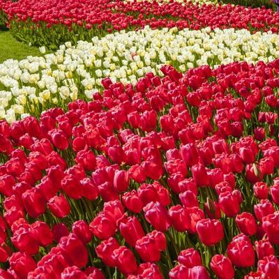 Red Tulip in Bloom-Richard T. Nowitz-Photographic Print