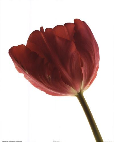 Red Tulip-Art Photo Pro-Art Print