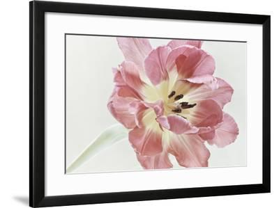 Red Tulip-Cora Niele-Framed Photographic Print