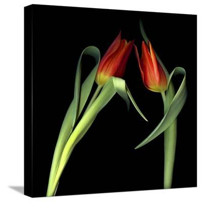 Red Tulips 7-Magda Indigo-Stretched Canvas Print