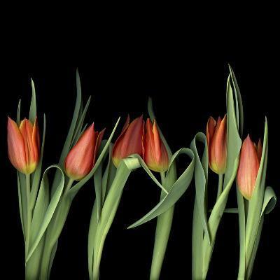 Red Tulips 8-Magda Indigo-Photographic Print