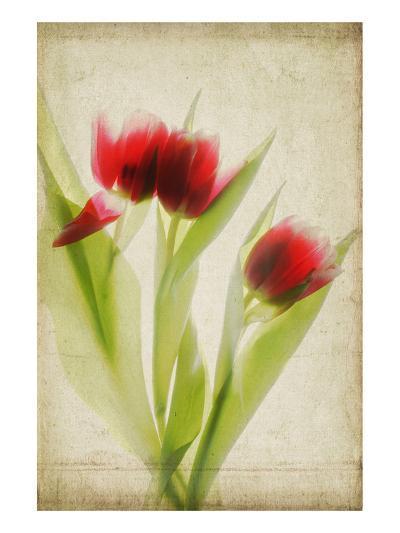 Red Tulips III-Judy Stalus-Art Print
