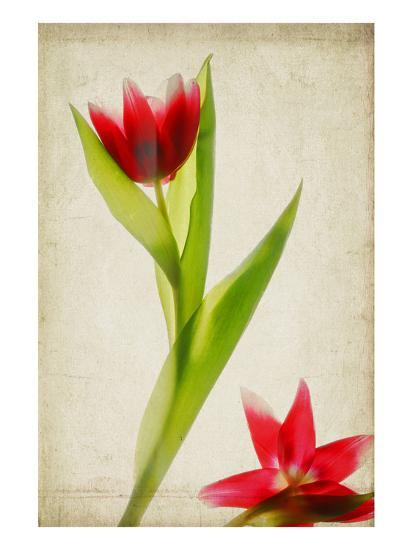Red Tulips IV-Judy Stalus-Art Print