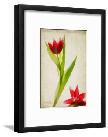 Red Tulips IV-Judy Stalus-Framed Art Print