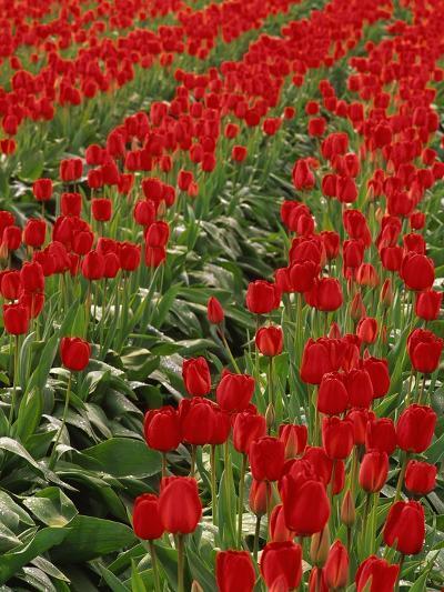 Red Tulips-Robert Marien-Photographic Print