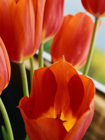 Red Tulips--Photographic Print