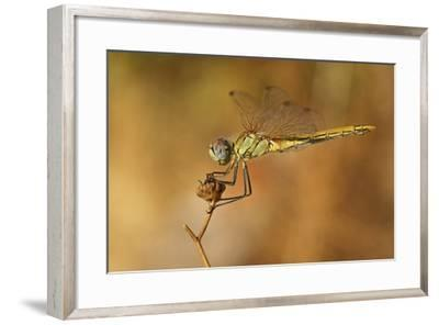 Red-Veined Darter (Sympetrum Fonscolombii) Female, Perching On A Dry Plant In A Garden, Toulon-Pascal Pittorino-Framed Photographic Print