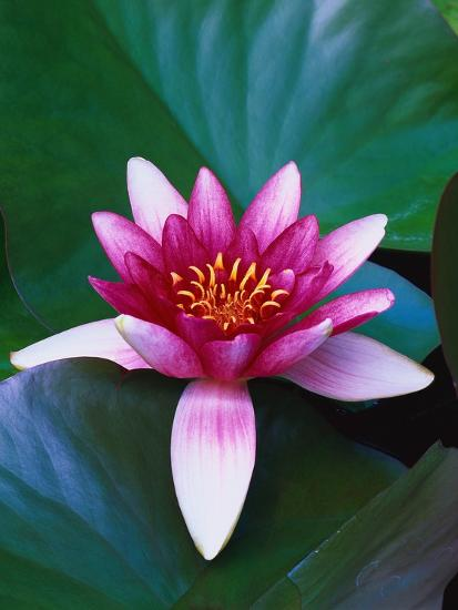 Red Water Lily-Robert Marien-Photographic Print