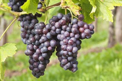 Red Wine Grapes, Uhlbach, Baden Wurttemberg, Germany, Europe-Markus-Photographic Print