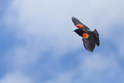 Red-Winged Blackbird (Agelaius Phoeniceus) in Flight, Washington, USA-Gary Luhm-Photographic Print