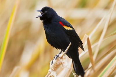 Red-Winged Blackbird (Agelaius Phoeniceus) Male Singing, Texas, USA-Larry Ditto-Photographic Print