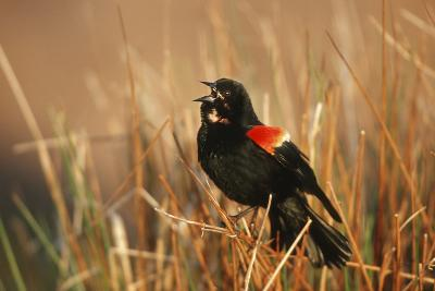 Red-Winged Blackbird Male Singing, Displaying in Wetland, Marion, Il-Richard and Susan Day-Photographic Print
