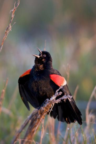 Red-Winged Blackbird Male Singing in Wetland Marion, Illinois, Usa-Richard ans Susan Day-Photographic Print