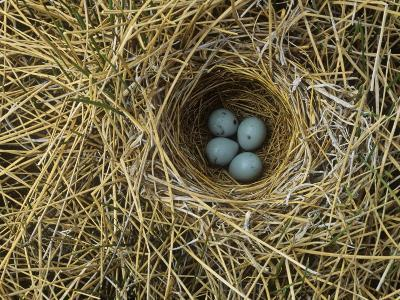 Red-Winged Blackbird Nest with Four Eggs in a Marsh, Agelaius Phoeniceus, North America-John & Barbara Gerlach-Photographic Print