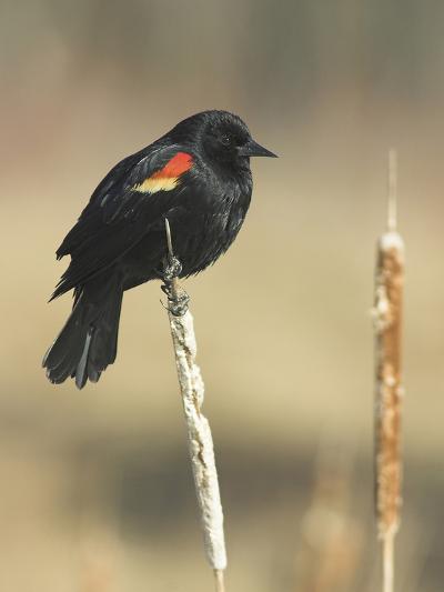 Red Winged Blackbird, North America-Glenn Bartley-Photographic Print