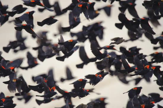 Red-Winged Blackbirds (Agelaius Phoeniceus) in Flight-Gerrit Vyn-Photographic Print